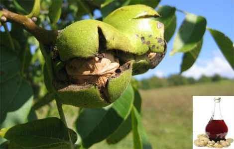 Настойка из перегородок грецкого ореха на водке