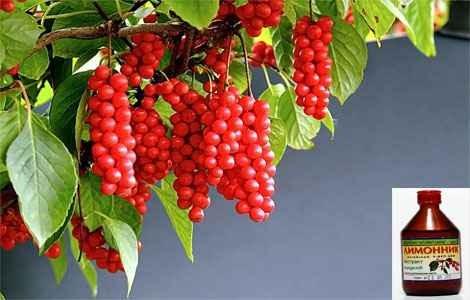 Настойка Плодов Лимонника Инструкция По Применению - фото 5