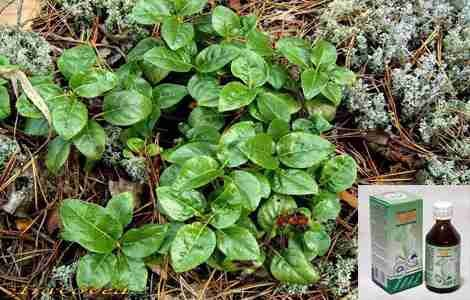 Настойка трава боровая матка – применение для лечения