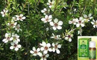 Эфирное масло чайного дерева свойства и применение