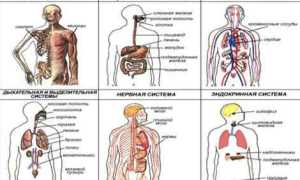Системы органов, организма человека