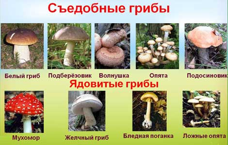 Как отличить ядовитые грибы от съедобных